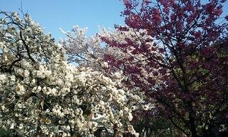 普賢寺さんの3色桜♪