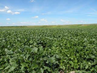 すごく広大な大豆畑♪壮観♪しかもみんな白目ちゃんだよー♪